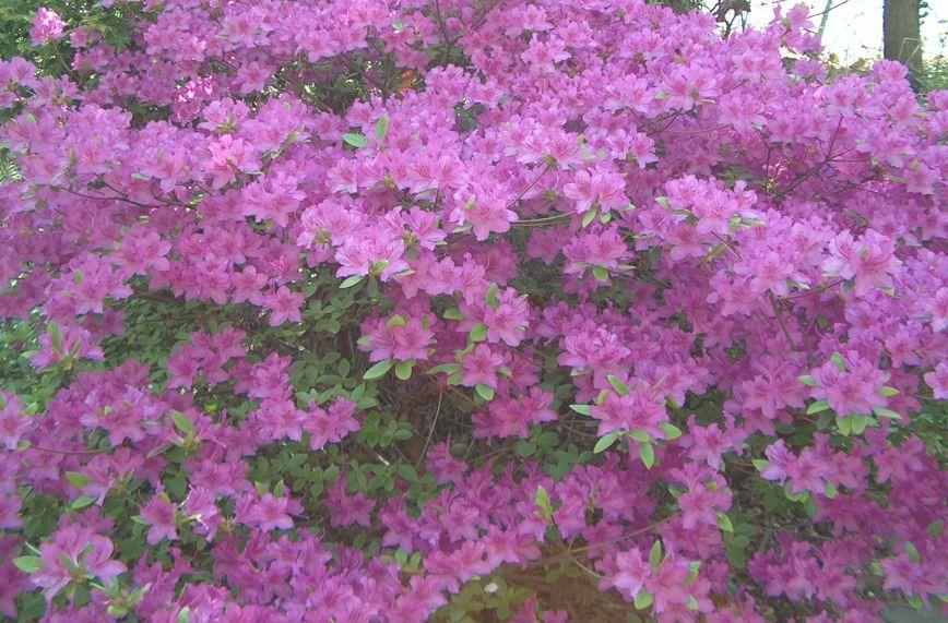 Arbustos resistentes al frio y al calor excellent notas for Arbustos de hoja perenne resistentes al frio