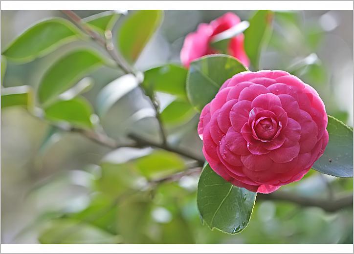 Flores del jardin (cultivadas) | Mariae