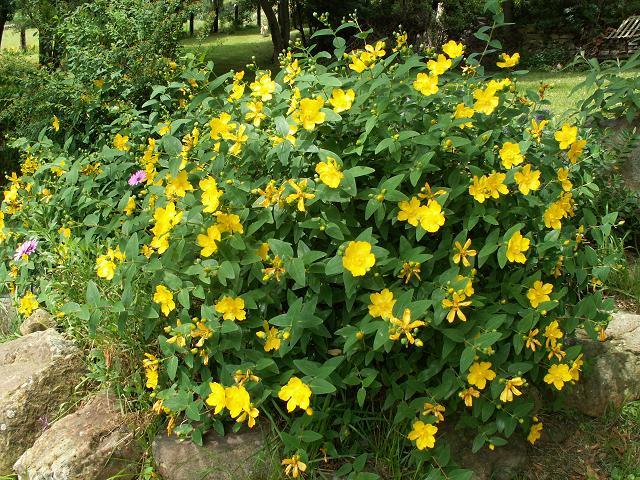 Flores del jardin mariae for Arbustos para jardin con flores