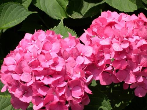 hortensias rosas