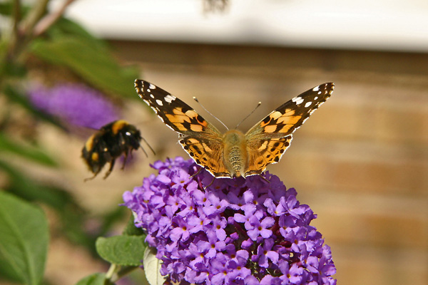 mariposa-abeja