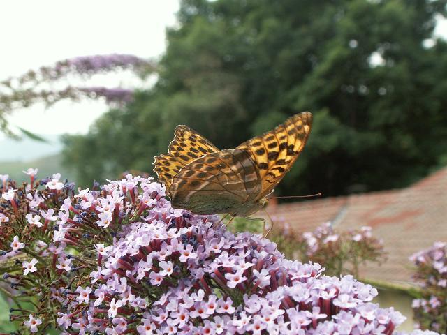 mariposa sobre budelia