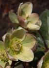 cultivadoheleboros