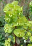 euphorbias-cultivadas