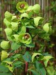 euphorbias-cultivadas1