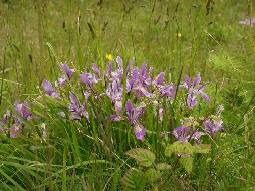 iris-silvestres