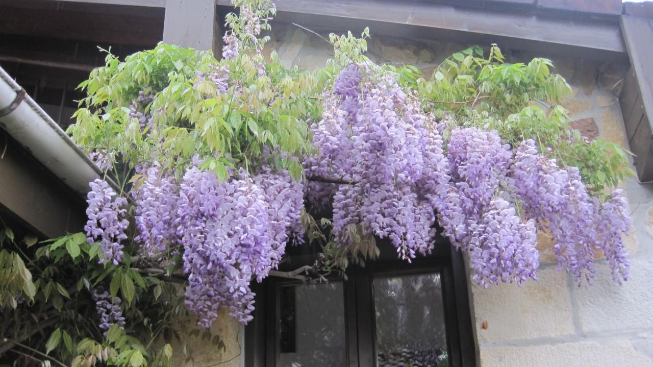 Tanto el jazmín , como la madreselva y la wisteria tienen un olor