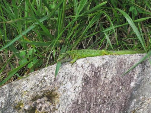 lagarto verde fosforito