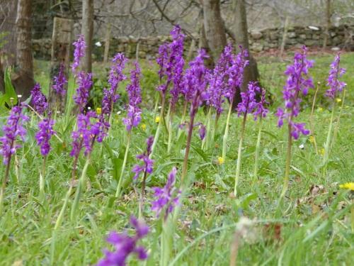 orquideas purpura