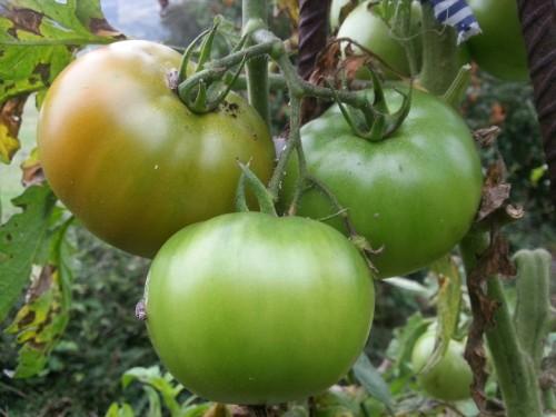 tomates-25-sept-2016