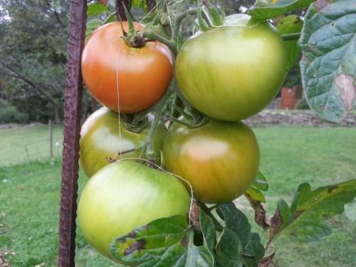 tomates-septiembre-2016