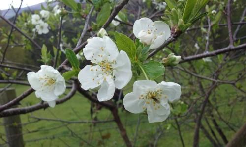 flores cerezo