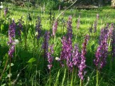 orqui purpura