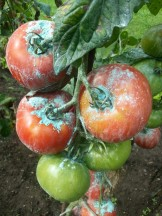 Ramillete de tomates