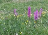 Orquideas silvestres en jardín
