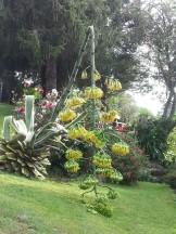 Floración de la pita
