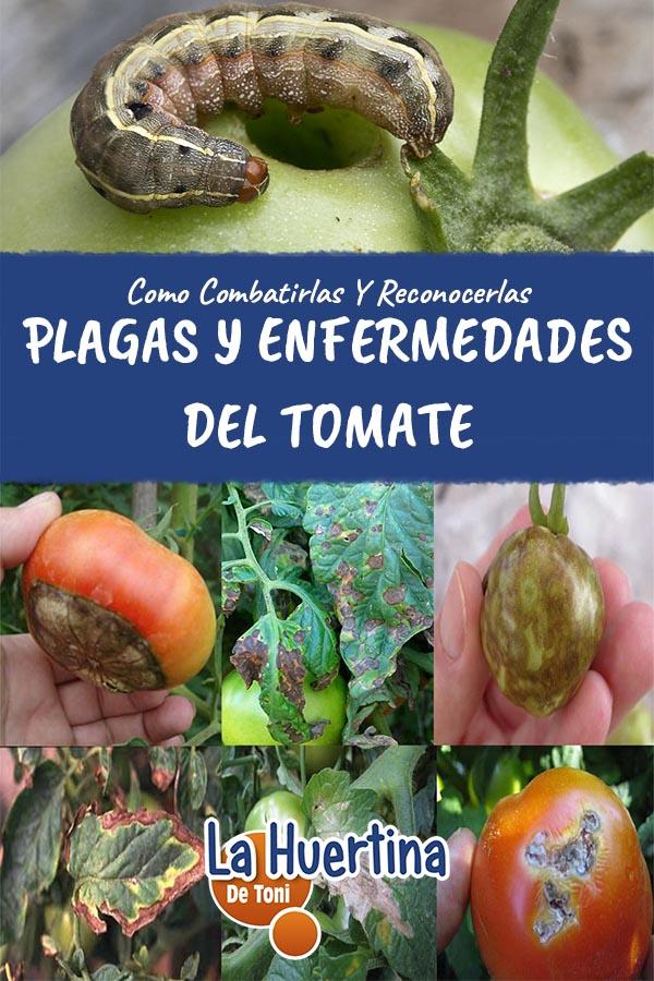 Enfermedades-Y-Plagas-Mas-Comunes-Del-Cultivo-Del-Tomate