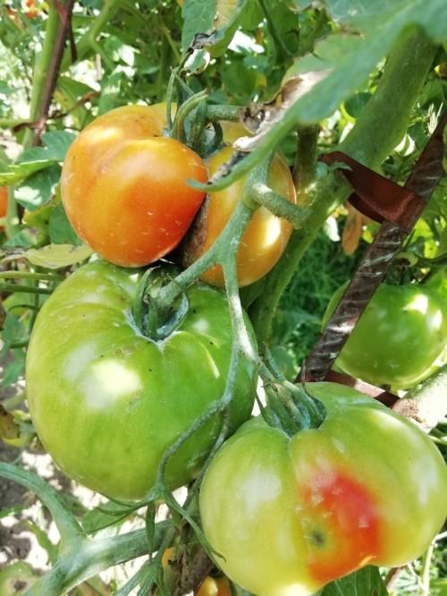 Bastantes tomates han quedado en planta, ya rojeando o todavía sin empezar a madurar.